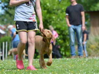 כלב בשיעור אילוף נושך את הרצועה בהליכה