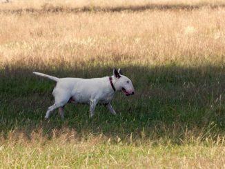 כלב מגזע בול טרייר