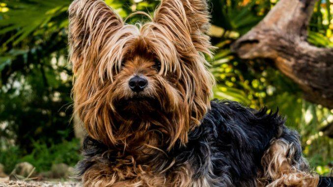 כלב מגזע הכלבים יורקשייר טרייר