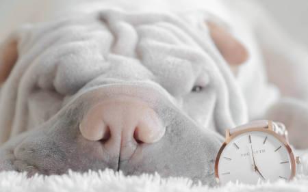 כלב שארפיי עם שעון מעורר