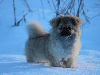 כלב מגזע ספניאל טיבטי בשלג