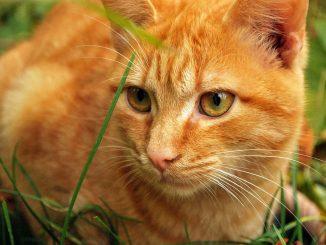 חתול ג'ינג'י בדשא - הרחקת חתולים מהגינה