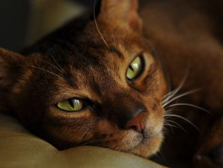 חתול אביסיני