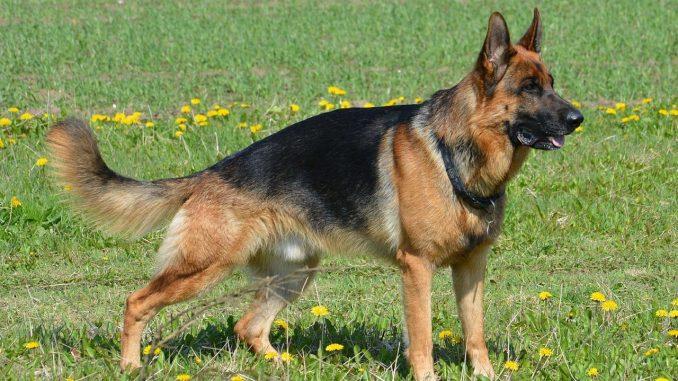 רועה גרמני