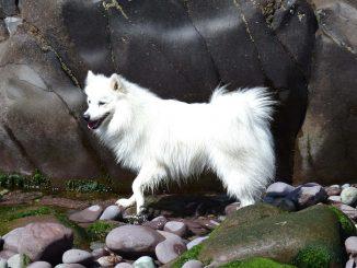 כלב מגזע כלבים שפיץ יפני