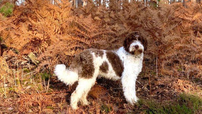 כלב מגזע כלבים לגוטו רומניולו