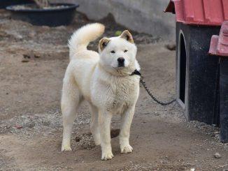 כלב ג'ינדו קוריאני