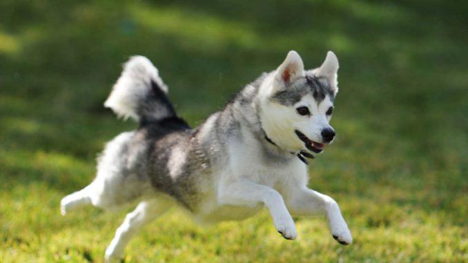 גזע כלבים אלסקן קליי קאי