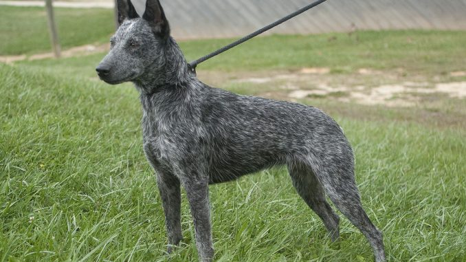 כלב בקר גידם-זנב אוסטרלי