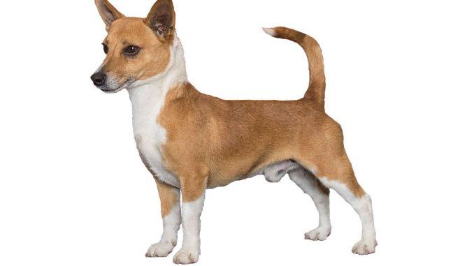 כלב פודנגו פורטוגזי