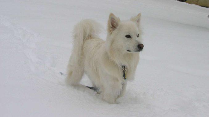 כלב אסקימו אמריקאי