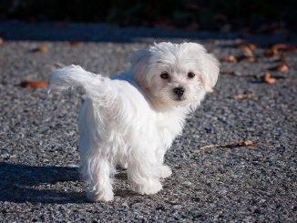 כלב מלטזי