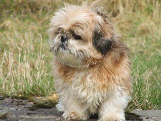 כלב שיצו נקרא גם שי טסו