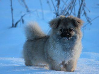 גזע כלבים ספנייל טיבטי