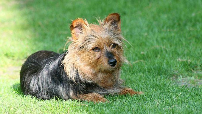 גזע כלבים טרייר אוסטרלי