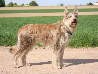 גזע כלבים ברגר פיקארד