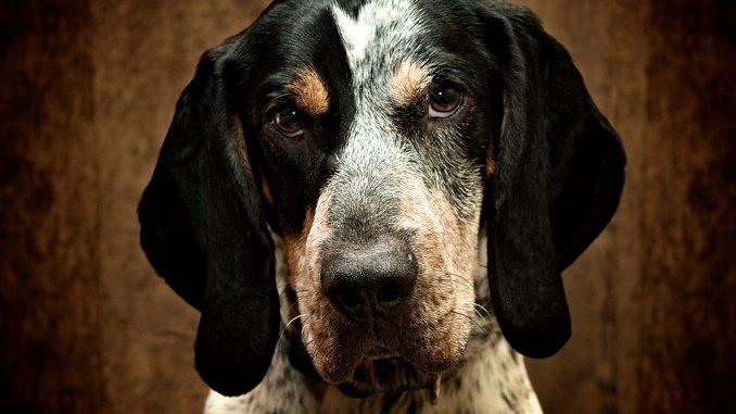 גזע כלבים בלוטיק קונהאונד