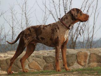 גזע כלבים כלב נמרים קאתאהולי