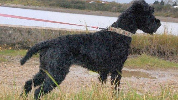גזע כלבים טרייר קרי כחול