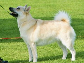 גזע כלבים ביוהאנד נורבגי