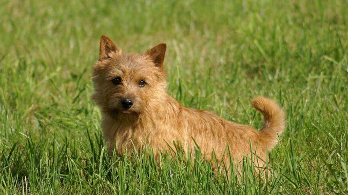 גזע כלבים נוריץ' טרייר