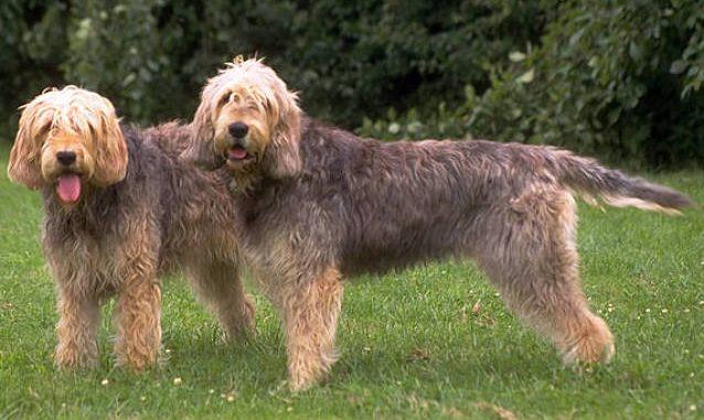 גזע כלבים אוטרהאונד
