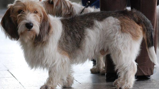 גזע כלבים באסט גריפון ונדין זעיר