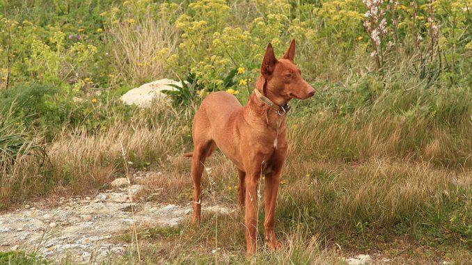 גזע כלבים כלב פרעה