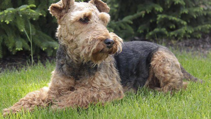 גזע כלבים טרייר וולשי