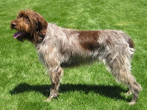 גזע כלבים פוינטר גריפון מקורזל שיער