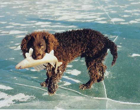 גזע כלבים ספניאל מים אמריקאי