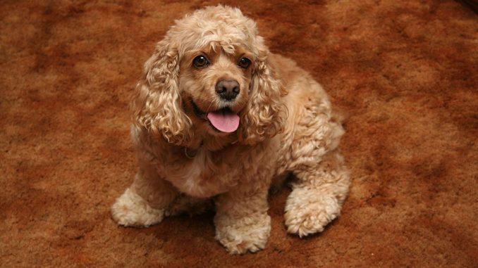 גזע כלבים קוקר ספניאל