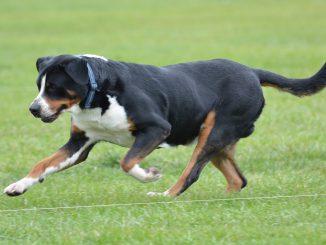 גזע כלבים כלב הרים שוויצרי ענק