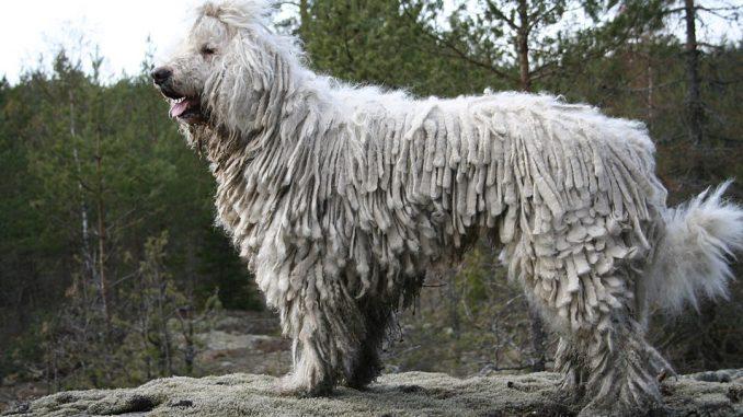 גזע כלבים קומונדור