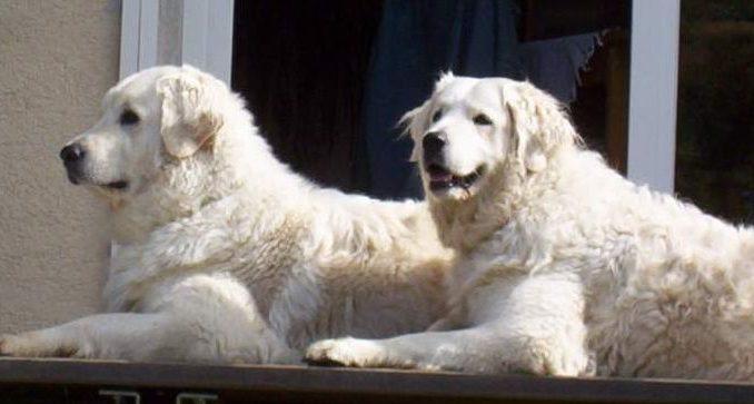 גזע כלבים קוואז