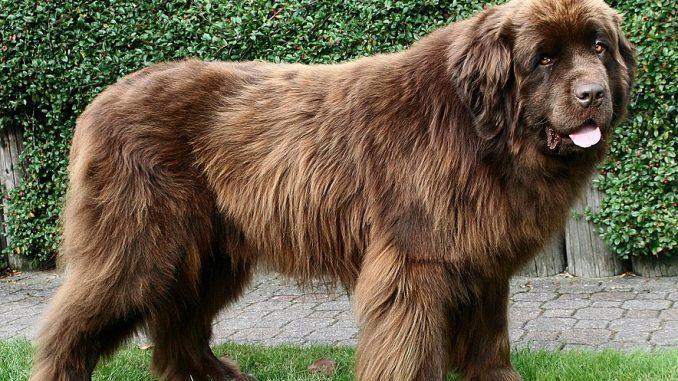 גזע כלבים ניופאונדלנד