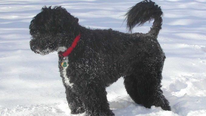 גזע כלבים כלב מים פורטוגזי