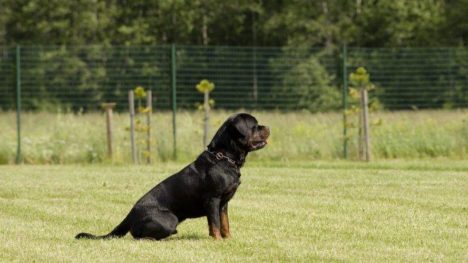 גזע כלבים רוטוויילר