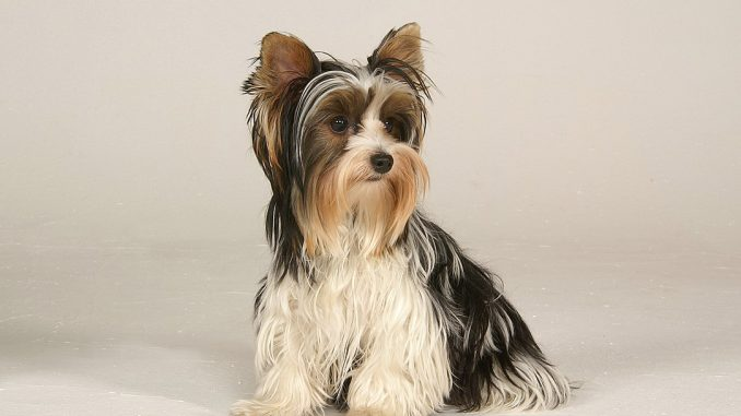 גזע כלבים ביוואר טרייר