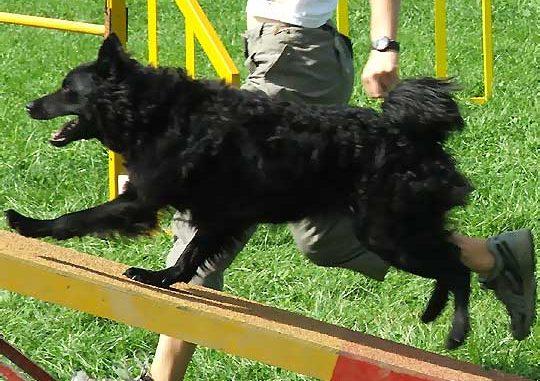 גזע כלבים כלב רועים קרואטי