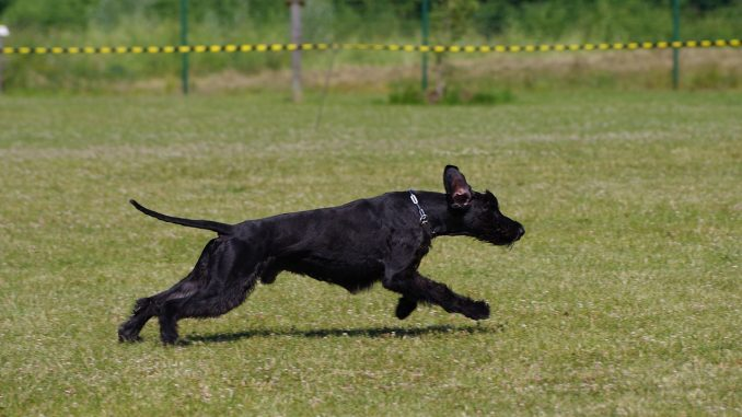 גזע כלבים שנאוצר ענק